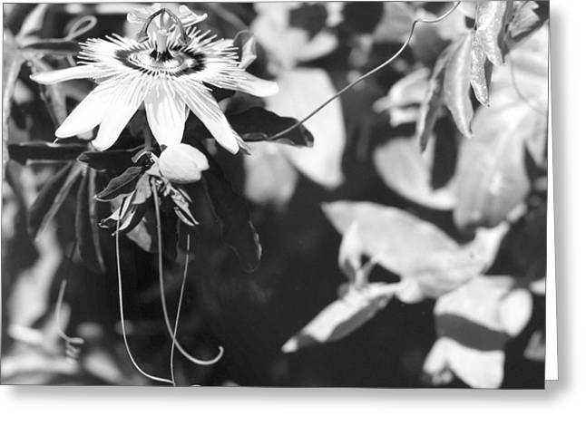 Passionflower Photographs Greeting Cards - Passionflower and tendrils Greeting Card by Paul Cowan