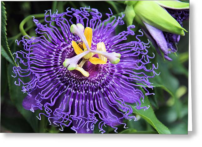 Passionflower Purple Greeting Card by Rosalie Scanlon