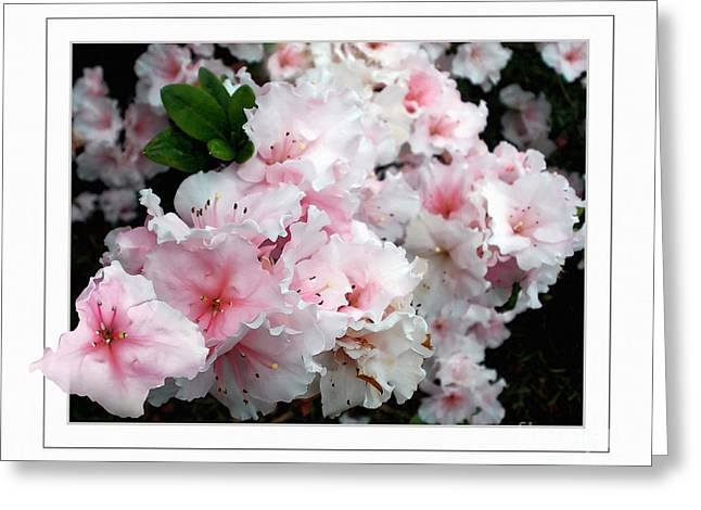 Out Of Frame Greeting Cards - Pastel Pink Azaleas Greeting Card by Kaye Menner