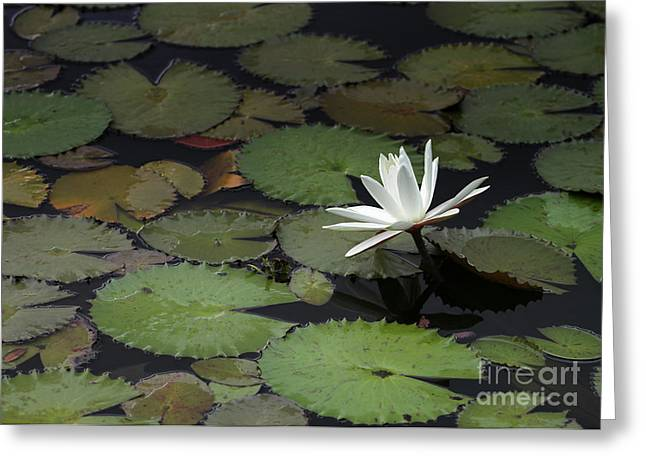 Water Garden Greeting Cards - Peaceful Water Lily Greeting Card by Sabrina L Ryan