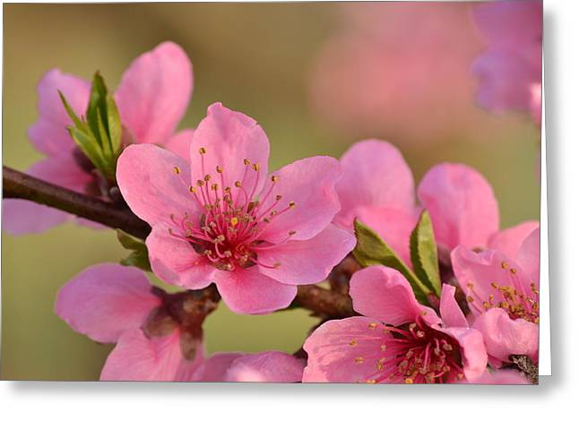 Peach Beautiful Greeting Card by JD Grimes