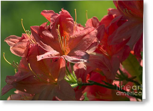 Orangey Greeting Cards - Peach colored Azalea Greeting Card by Sharon  Talson
