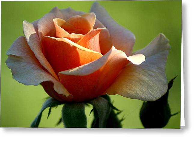 Keen Greeting Cards - Peachy Keen Greeting Card by Karen M Scovill