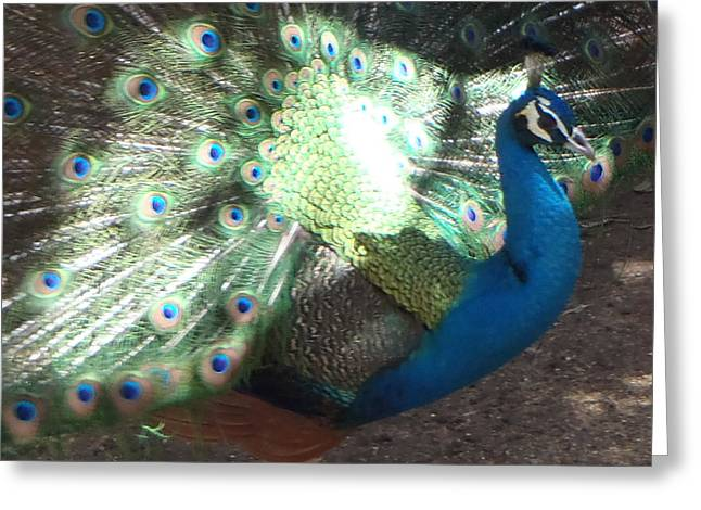 Strut Photographs Greeting Cards - Peacock Bathing in Sun Greeting Card by Kathy Peltomaa Lewis