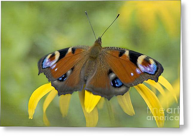 Close Focus Floral Greeting Cards - Peacock Butterfly Greeting Card by Jacky Parker