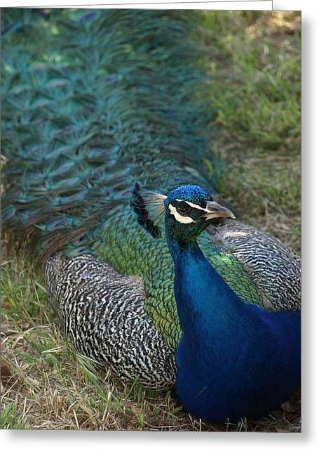 Debi Ling Greeting Cards - Peacock Greeting Card by Debi Ling