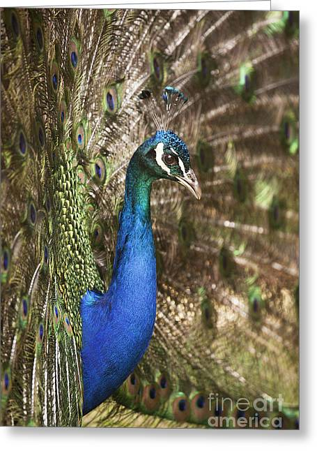 Spectacular Greeting Cards - Peacock Display Greeting Card by Richard Garvey-Williams