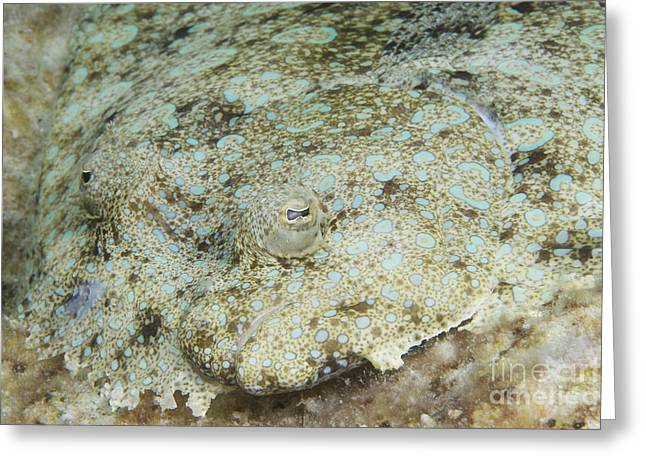 Flounder Greeting Cards - Peacock Flounder Camouflaged Greeting Card by Terry Moore