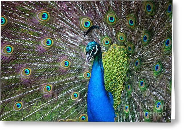 Greeting Cards - Peacock Greeting Card by Holger Ostwald