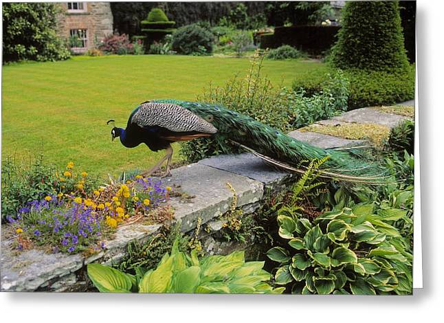 Full Body Greeting Cards - Peacock In Formal Garden, Kilmokea, Co Greeting Card by The Irish Image Collection