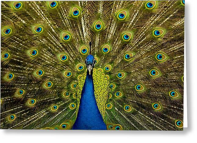 Attractiveness Greeting Cards - Peacock Pavo Cristatus Displaying Tail Greeting Card by Paul D Stewart