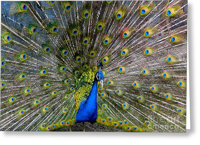 Mating Season Greeting Cards - Peacock Splendour I Greeting Card by Al Bourassa