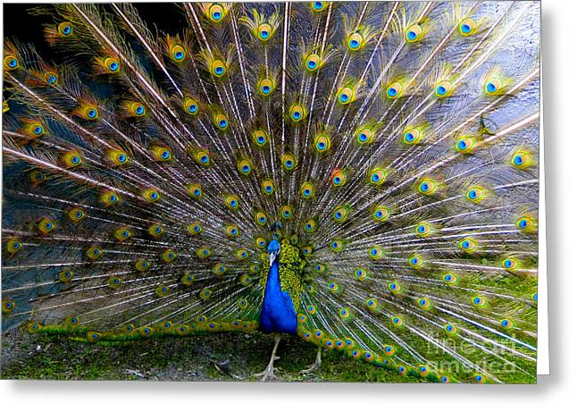 Mating Season Greeting Cards - Peacock Splendour III Greeting Card by Al Bourassa