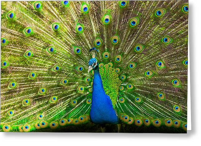 Tiere Greeting Cards - Peacock wheel Greeting Card by Thomas Splietker