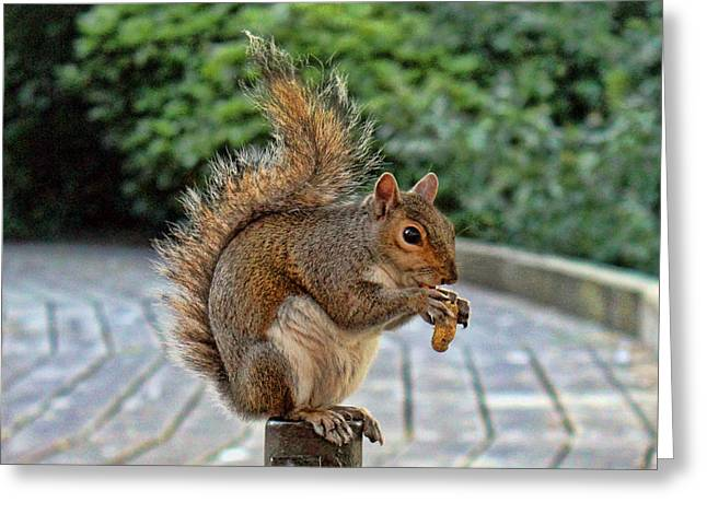 Squirrels Greeting Cards - Peanuts for lunch Greeting Card by Jasna Buncic