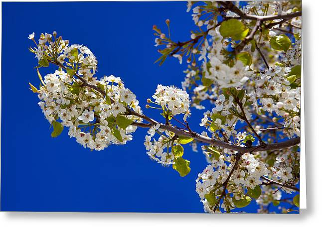 Fruit Tree Photographs Greeting Cards - Pear Spring Greeting Card by Chad Dutson