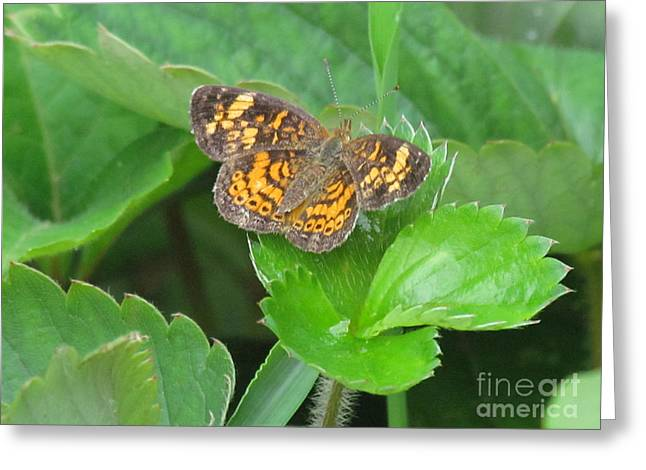 Randi Shenkman Greeting Cards - Pearl Crescent Butterfly Greeting Card by Randi Shenkman