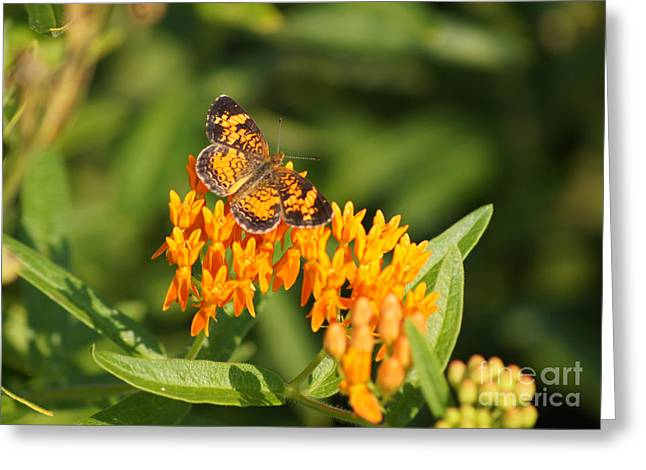 Reflections Of Infinity Llc Greeting Cards - Pearl Crescent on Butterfly Weed Flowers 1 Greeting Card by Robert E Alter Reflections of Infinity LLC
