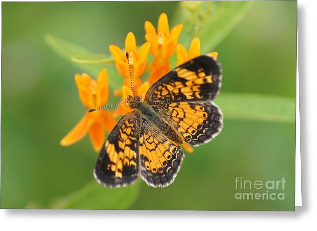 Reflections Of Infinity Greeting Cards - Pearl Crescent on Butterfly Weed Flowers 2 Greeting Card by Robert E Alter Reflections of Infinity LLC