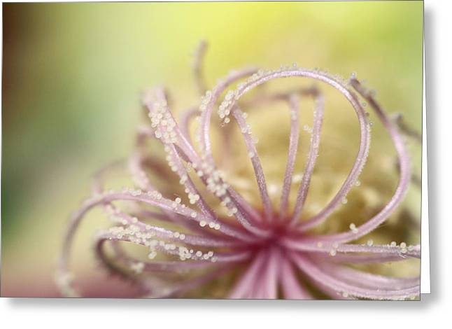 Flower Stamen Greeting Cards - Pearly Curls Greeting Card by Sharon Johnstone