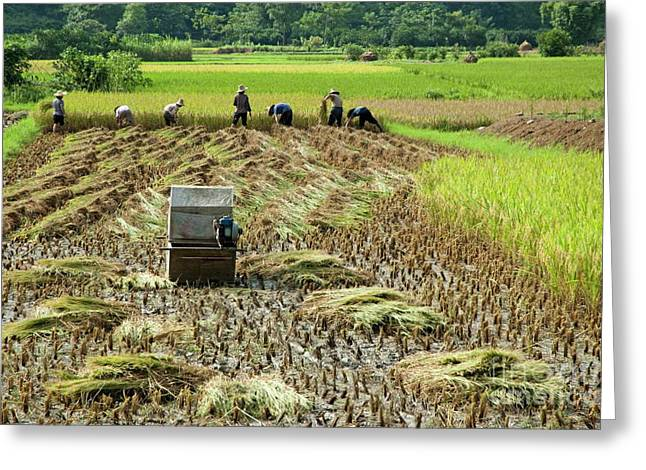 The Agricultural Life Greeting Cards - Peasants harvesting a rice paddy using a machine in Yangshuo Greeting Card by Sami Sarkis