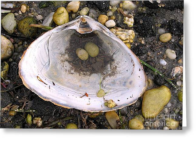 Sea Shell Art Greeting Cards - Pebbles in a Shell Greeting Card by Colleen Kammerer