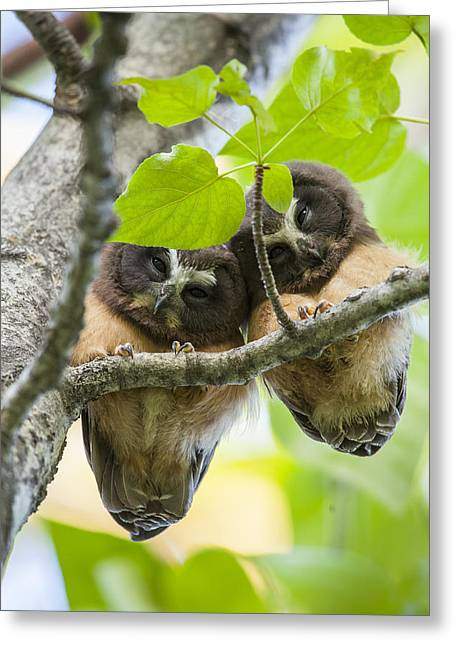 Baby Bird Greeting Cards - Peek-A-Boo Fledglings Greeting Card by Tim Grams
