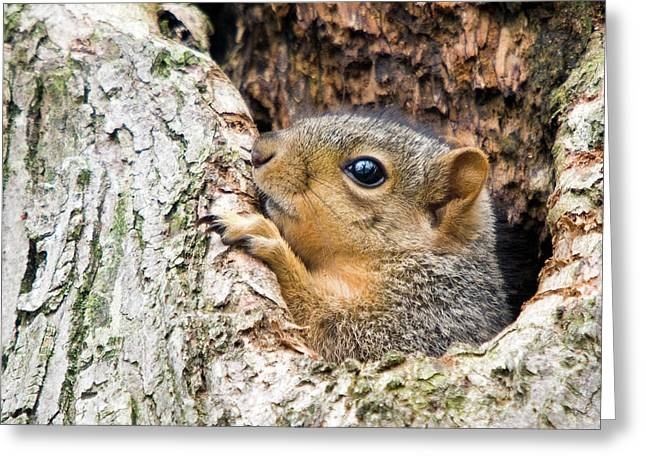 Fox Squirrel Greeting Cards - Peekaboo Squirrel Greeting Card by Steve Stuller