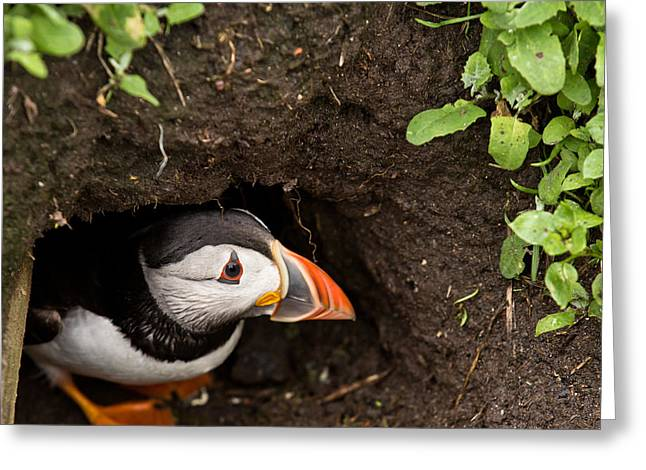 Farne Islands Greeting Cards - Peeping Puffin Greeting Card by Justin Albrecht