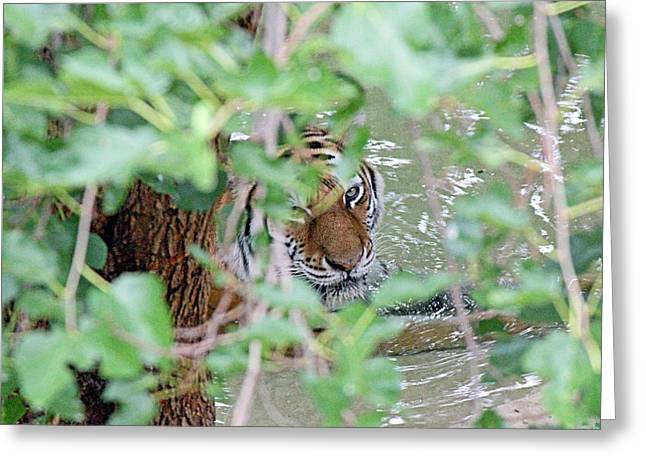 Becky Greeting Cards - Peeping tiger Greeting Card by Becky Lodes