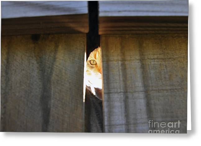 Peepholes Greeting Cards - Peeping Tomcat Greeting Card by Al Powell Photography USA