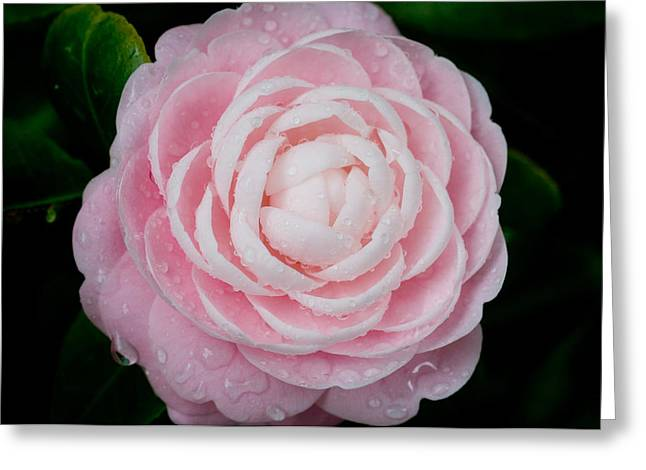 Camellia Photographs Greeting Cards - Pefectly Pink Greeting Card by Rich Franco