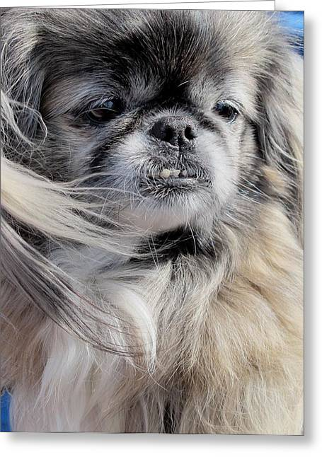Little Pyrography Greeting Cards - Pekingese Portrait  Greeting Card by Valia Bradshaw
