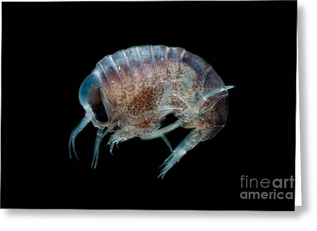 Zooplankton Greeting Cards - Pelagic Amphipod Greeting Card by Danté Fenolio