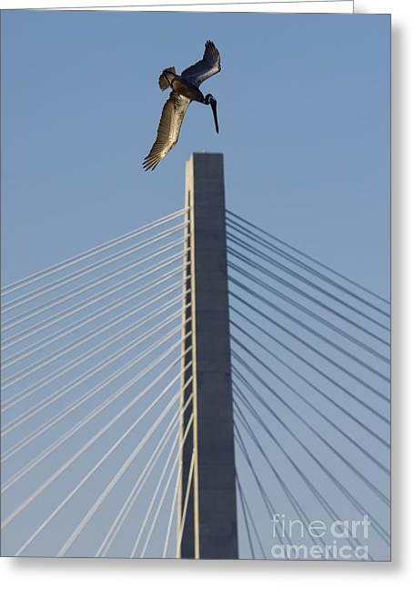 Diving Greeting Cards - Pelican Diving Arthur Ravenel Jr Bridge over the cooper river in Charleston South Carolina Greeting Card by Dustin K Ryan