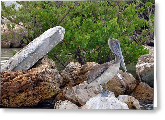 Stiltsville Greeting Cards - Pelican Greeting Card by Ken  Collette