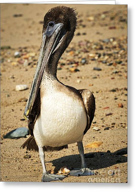 Pelican On Beach In Mexico Greeting Card by Elena Elisseeva