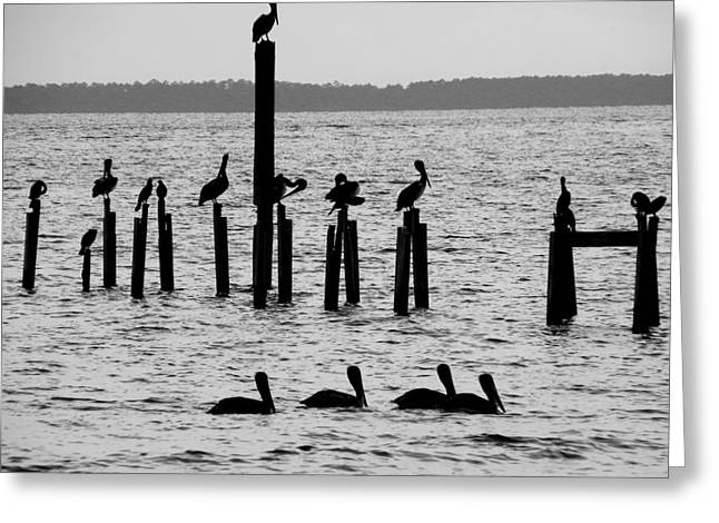 Pelicans On Posts Greeting Card by Judy Wanamaker