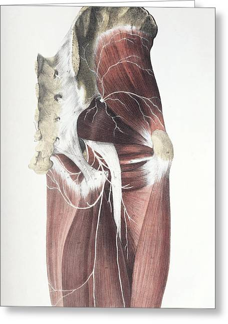 Sacral Greeting Cards - Pelvic Spinal Nerves Greeting Card by Sheila Terry