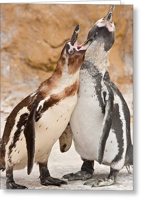 Argument Greeting Cards - Penguin Greeting Card by Tom Gowanlock