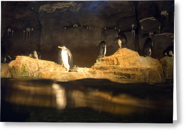 Pittsburgh Zoo Greeting Cards - Penguins Line The Rocks Greeting Card by Stacy Gold