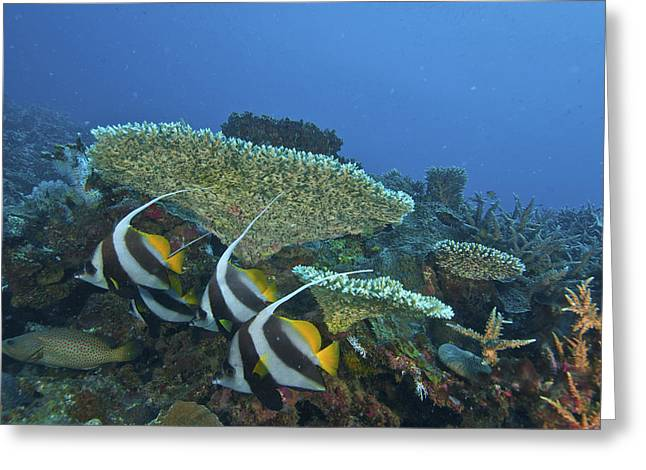 Snorkel Greeting Cards - Pennant Bannerfish In The Indian Ocean Greeting Card by Jad Davenport