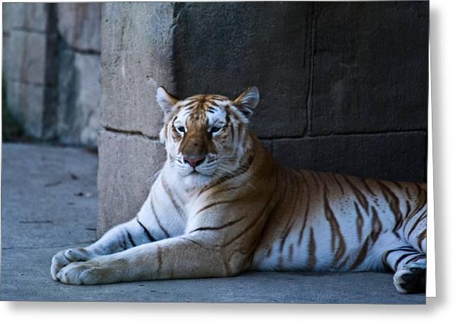Pensive Greeting Cards - Pensive Bengal Tiger Greeting Card by Douglas Barnett