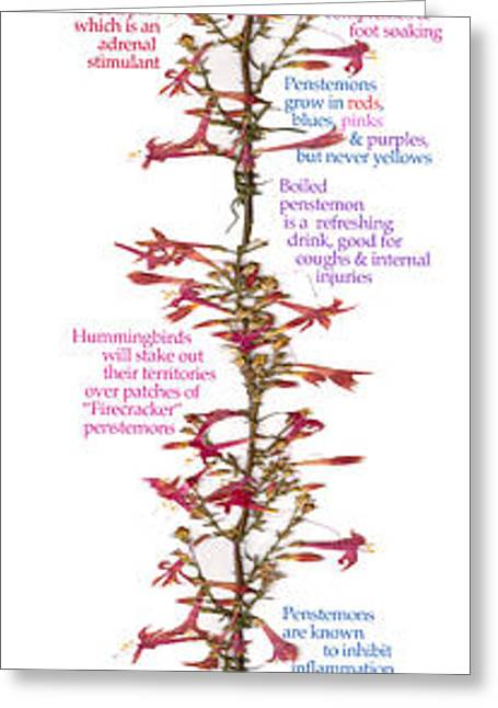 American Food Drawings Greeting Cards - Penstemon Greeting Card by Cezzzanni Alexander