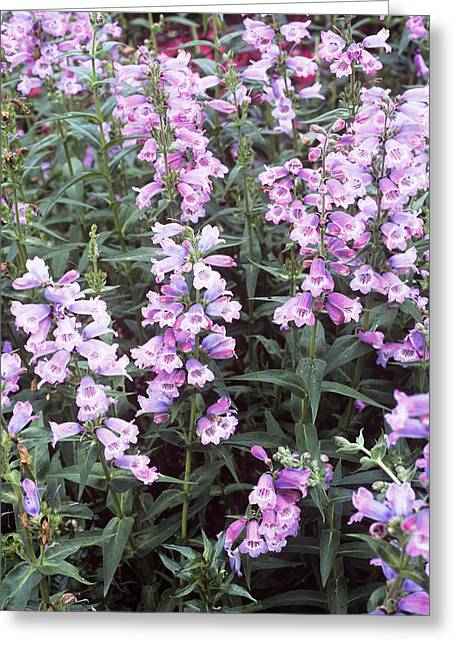 Penstemon (penstemon 'sour Grapes') Greeting Card by Adrian Thomas