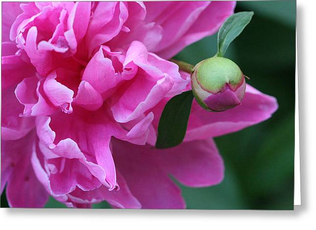 Bishop Hill Greeting Cards - Peony and Bud Greeting Card by Peg Toliver