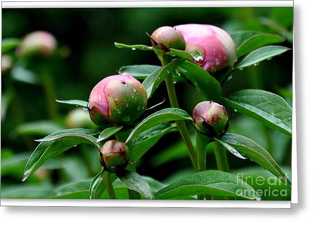 Searcy Greeting Cards - Peony Buds Greeting Card by Tanya  Searcy