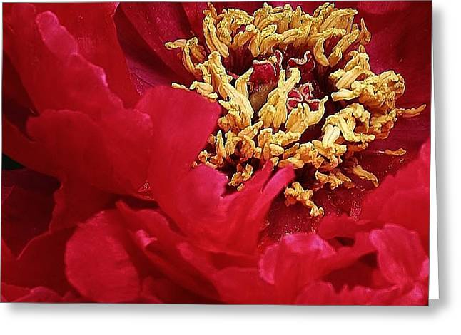 Peony Close Up Greeting Card by Bruce Bley