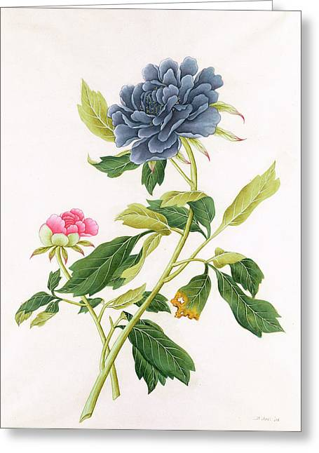 Pre-19th Greeting Cards - Peony Greeting Card by Georg Dionysius Ehret