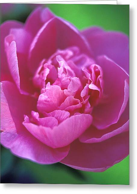 Pink Flower Prints Greeting Cards - Peony in Pink Greeting Card by Kathy Yates